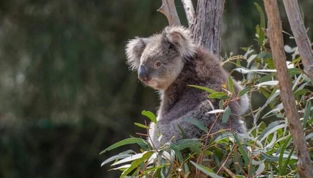 koala-4757210__340