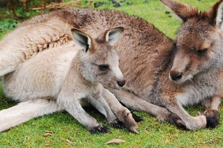 kangaroo-802458__340