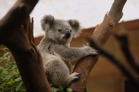koala-3055832_1280