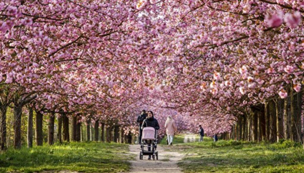 ドイツ 桜並み木