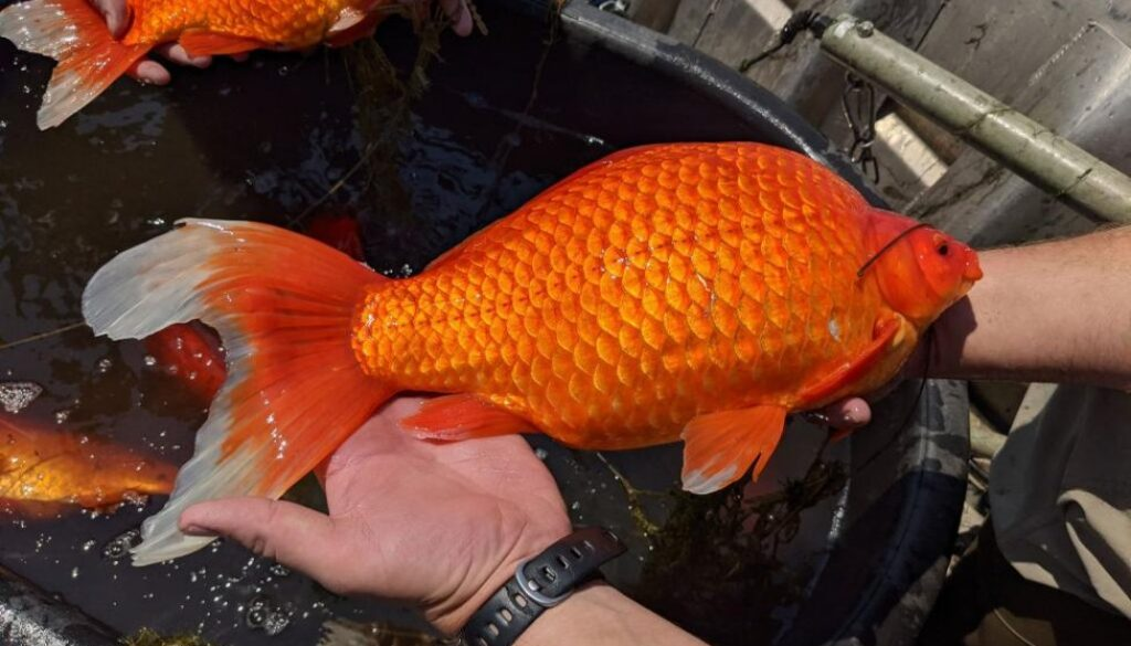 Goldfish-up-to-18-inches-long-found-in-Minnesota-lake