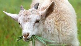goat-1596880__340